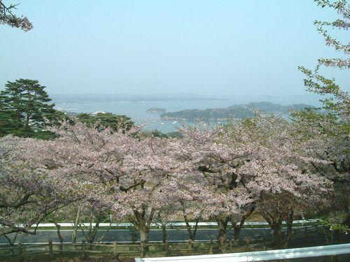 松島2010桜1
