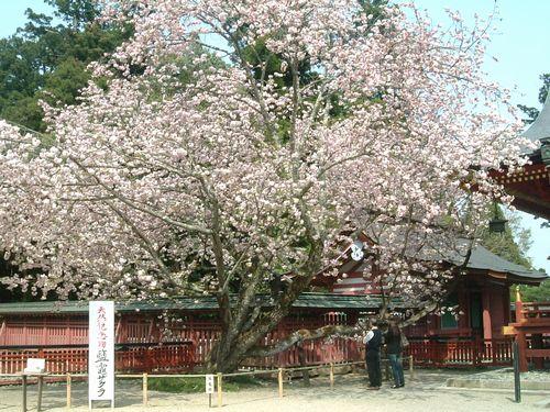 塩釜神社2010桜3