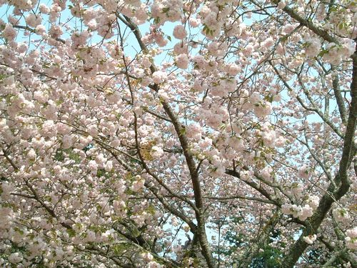 塩釜神社2010桜4