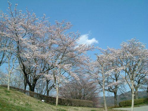 みちのく公園2010桜2