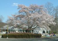 みちのく公園2010桜3