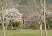 みちのく公園2010桜4