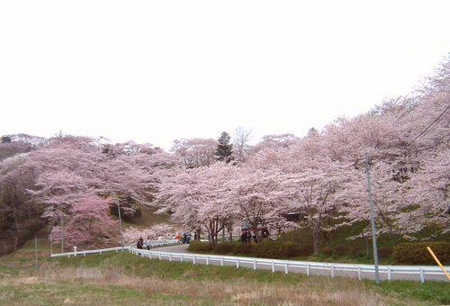 花見2008船岡城跡公園1