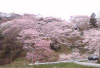 花見2008船岡城跡公園2