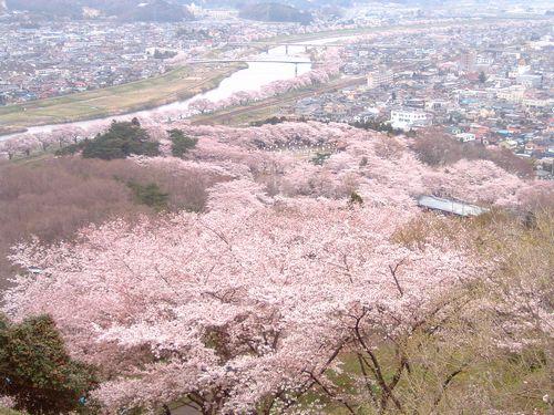 花見2008船岡城跡公園4