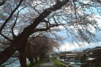 花見2010船岡白石川2