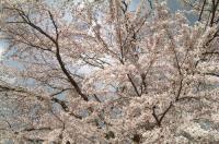 花見2010船岡白石川3