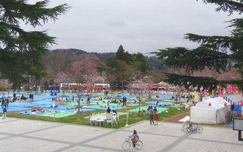 桜2012西公園1