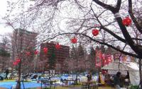 桜2012西公園2