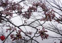 桜2012西公園3