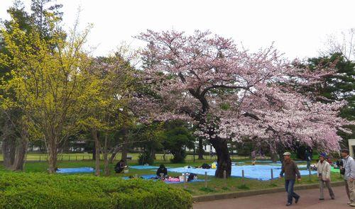 桜2012榴岡公園2