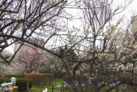 桜2012榴岡公園3