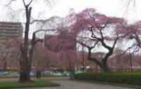 桜2012榴岡公園4
