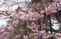 桜2012榴岡公園5