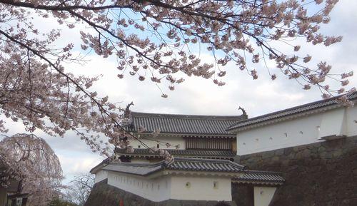 桜花見2012白石城2