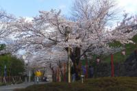 桜花見2012白石城3