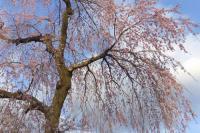 桜花見2012白石城4