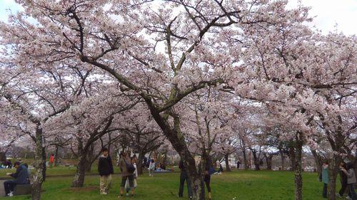 桜花見2012白石城5