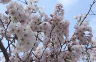 桜花見2012白石城10