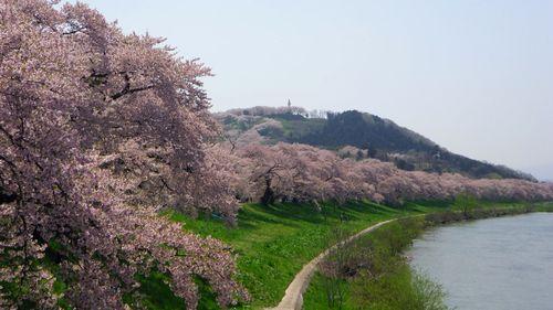 桜2012白石川堤1
