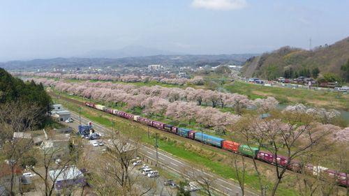 桜2012白石川堤2