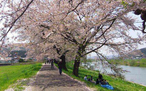 桜2012白石川堤5
