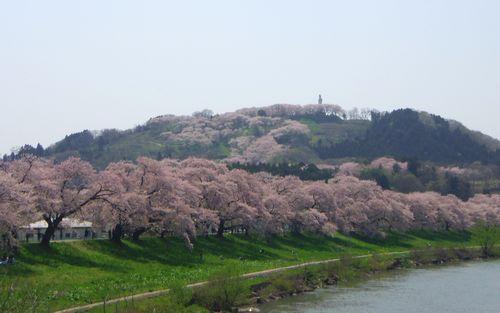 桜2012白石川堤7