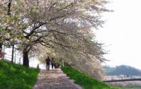 \桜2012白石川堤10