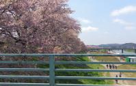 桜2012白石川堤11大河原