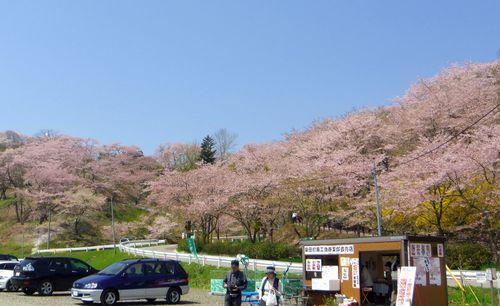 桜2012船岡城跡公園1