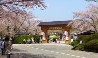桜2012船岡城跡公園4