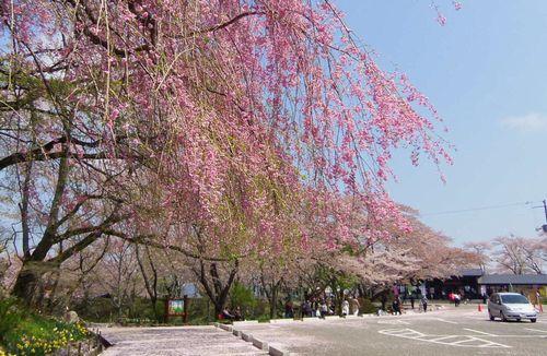 桜2012船岡城跡公園7枝垂れ桜