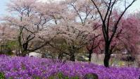 桜2012船岡城跡公園11