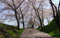 桜2012船岡城跡公園12
