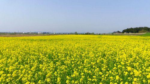 角田2012菜の花1