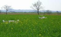 角田2012菜の花4
