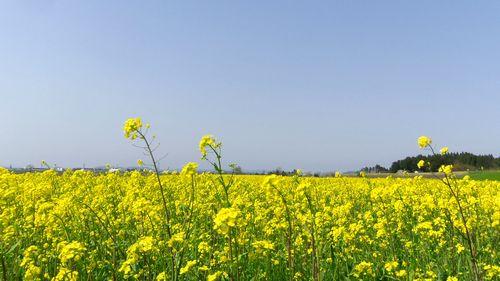 角田2012菜の花7