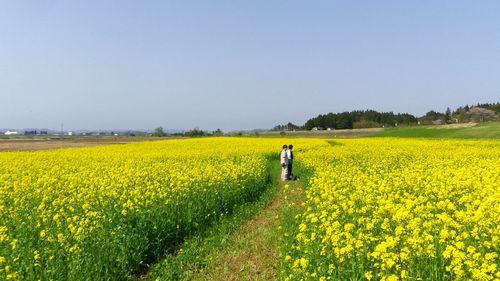 角田2012菜の花8