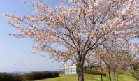 角田2012菜の花9河川敷の桜