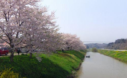 桜2012松島品井沼1