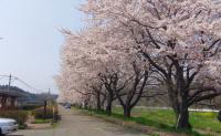 桜2012松島品井沼2