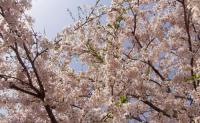 桜2012松島品井沼3