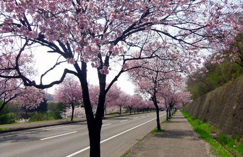 桜2012泉パークタウン1