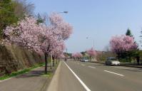 桜2012泉パークタウン2