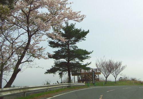 桜2012牡鹿半島1