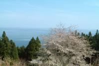 桜2012牡鹿半島2