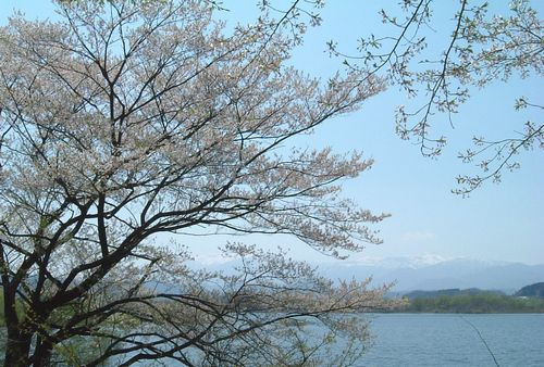 桜2012釜房湖1