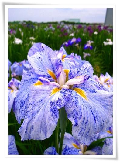 2011-06-15 笠幡しょうぶ祭り 027