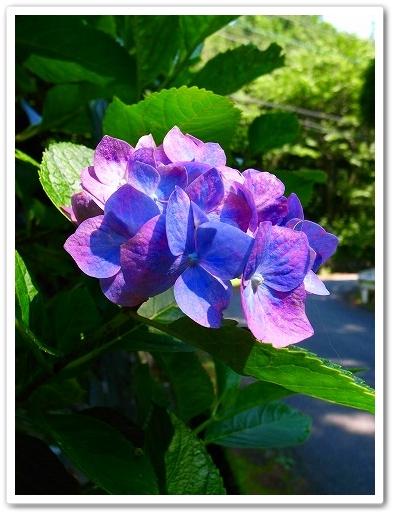 2011-06-22 紫陽花 毛呂山 (3)