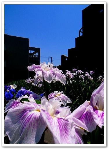 2011-06-22 ときがわ花菖蒲 (1)